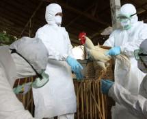 Se propaga la gripe aviaria en el suroeste de Canadá y son sacrificadas 155 mil aves