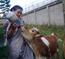 Lalita… La vaca Milagrosa… (por Nitya dasi)