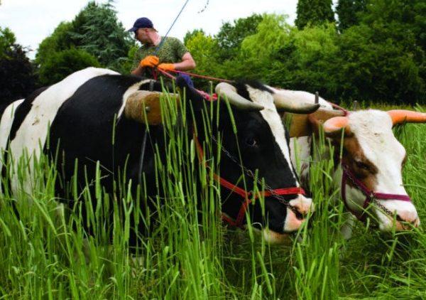 Debemos aceptar un alto costo por la Protección de las Vacas, señala el  Nuevo Ministro