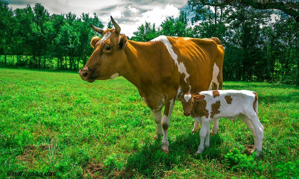 A cow and her calf at New Talavana