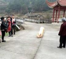 CHINA: Un Cerdo se escapa y da reverencias por horas frente a un templo budista,